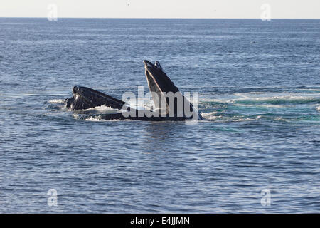 Humpback whales (Megaptera novaeangliae) feeding breaching - Stock Photo