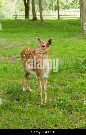 Fallow deer when watching on green meadow grassland in forest in summer - Stock Photo