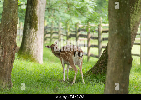 Fallow deer when grooming on green meadow grassland in forest in summer - Stock Photo
