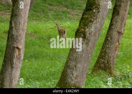 Fallow deer when grazing on green meadow grassland in forest in summer - Stock Photo