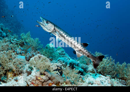 Blackfin Barracuda (Sphyraena qenie) in cleaning station with Bluestreak Cleaner Wrasse (Labroides dimidiatus), - Stock Photo