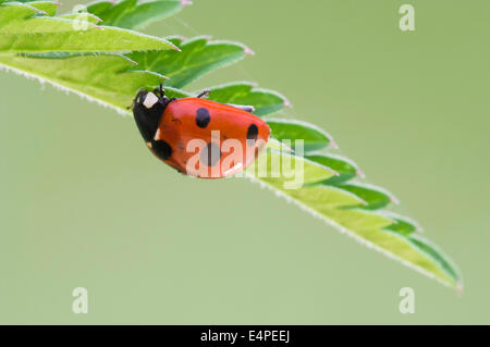 Seven-spot ladybird (Coccinella septempunctata) on a leaf - Stock Photo