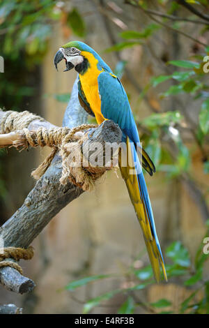 Blue and yellow macaw perched on tree - Stock Photo