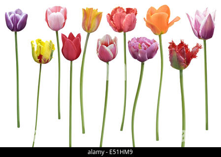 Tulips Flowers In A Row - Stock Photo