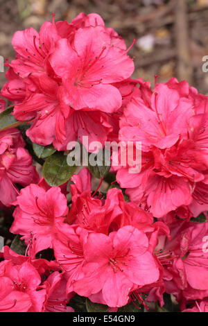 Pink flowers of the evergreen Japanese azalea, Rhododendron 'Aghadir' - Stock Photo