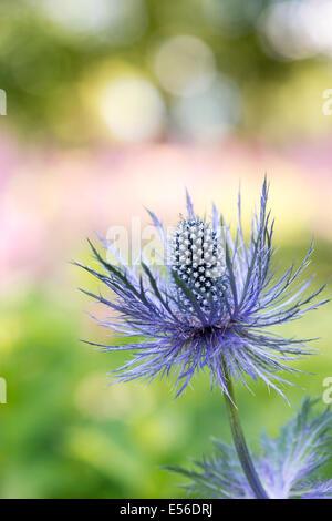 Eryngium Alpinum 'Superbum' . Alpine Sea Holly - Stock Photo