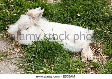 White Lionhead Rabbit - Stock Photo