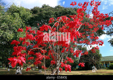 Red leafs of Christmas Star, Poinsettia (Euphorbia pulcherrima), Weihnachtsstern. Zambia, Africa - Stock Photo