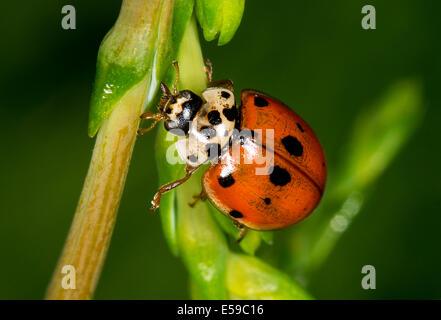 A seven spot ladybird - Stock Photo