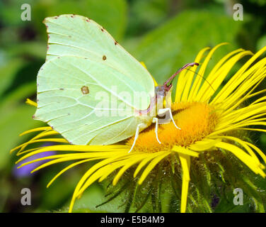 A  Brimstone Butterfly (Gonepteryx rhamni) feeds on a yellow Inula hookeri flower. - Stock Photo
