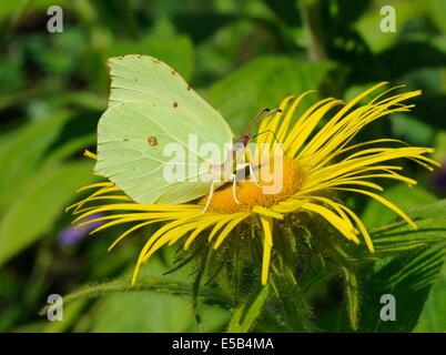 A  Brimstone Butterfly (Gonepteryx rhamni) feeds on a yellow Inula hookeri flower. - Stock Photo