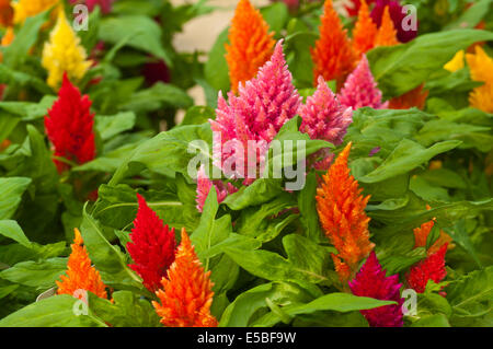 Brightly Coloured Celosia Kimono Commonly Known as plumed cockscomb - Stock Photo