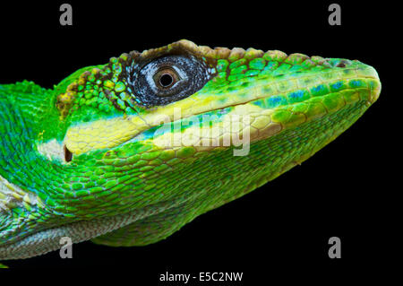 Knight Anole / Anolis equestris - Stock Photo