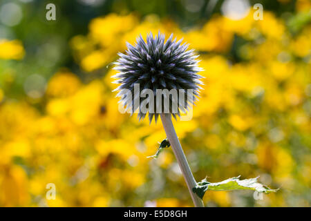 a purple thistle in front of a field of yellow flowers - Stock Photo