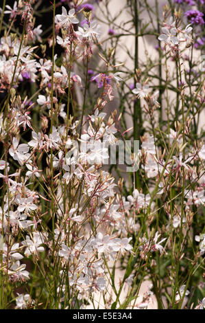 Gaura lindheimeri ' Snow Fountain ' commonly known as Lindheimer's Beeblossom, White Gaura, Pink Gaura, Lindheimer's - Stock Photo