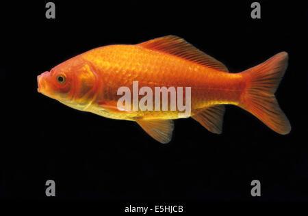 Goldfish (Carassius auratus auratus), captive, France - Stock Photo