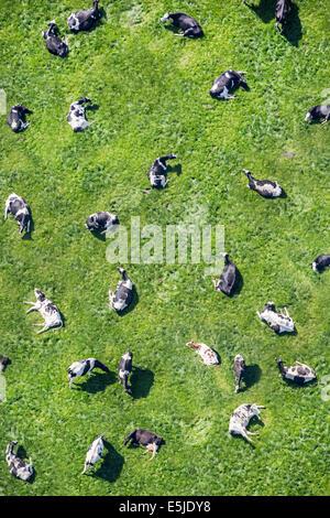 Netherlands, Eenigenburg. Cows in meadow ruminating. Aerial - Stock Photo