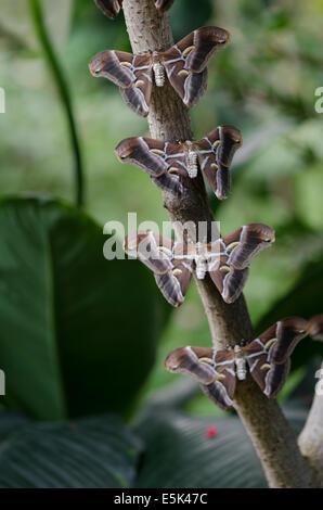 The Ailanthus silkmoth, Samia cynthia, Inside the Butterfly Park, Benalmadena, Costa del Sol, Spain. - Stock Photo