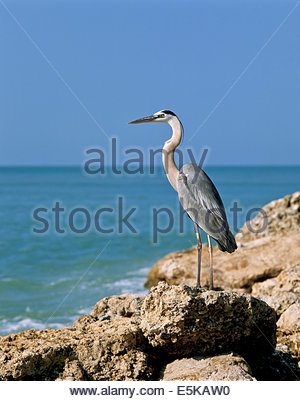 Great Blue Heron Ardea herodias on Turner Beach on Captiva Island near Fort Meyers in Florida USA - Stock Photo