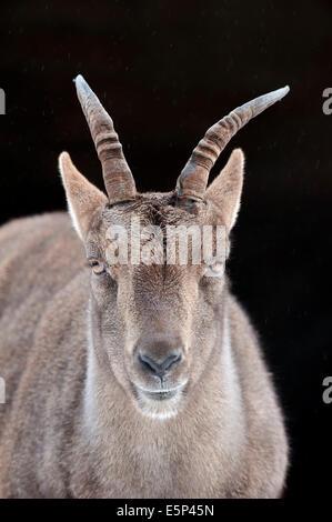 Alpine Ibex (Capra ibex), female - Stock Photo
