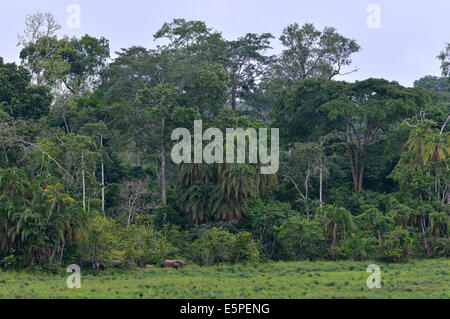 African Forest Elephant (Loxodonta cyclotis), Ndangaye clearing, South West Region, Cameroon - Stock Photo