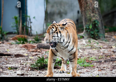 Malayan tiger Panthera tigris jacksoni - Stock Photo