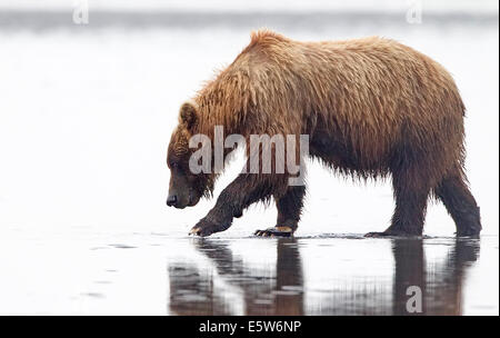 Alaskan Brown Bear on Tidal Flats Looking for Clams - Stock Photo