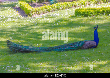 royal blue peacock neck rests in a garden - Stock Photo