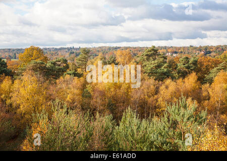 Beautiful Surrey countryside: woodlands with silver birch trees in bright autumn colours at Frensham Pond, Surrey, - Stock Photo