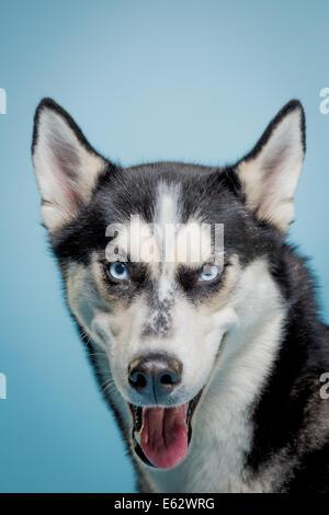 Siberian husky dog looking expressively at camera - Stock Photo