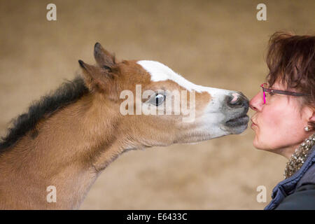 Welsh Mountain Pony, Section A. Filly-foal investigationg the face of a woman. Germany - Stock Photo