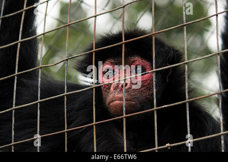 Red Faced Black Spider Monkey - Stock Photo