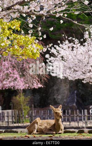 Deer resting under the cherry blossoms in Miyajima, Japan - Stock Photo