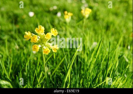 Summer Garden Cowslip Flowers - Stock Photo