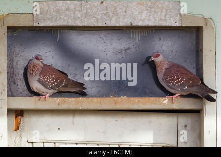 Speckled Pigeon Columba guinea, adults, perched on window ledge, Diida Xuyyura Ranch, Yabello, Ethiopia in March. - Stock Photo