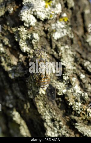 Cicada cicade (Cicada orni - Tettigia orni) male singing on the bark of a tree trunk - Stock Photo