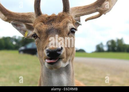 A Fallow Deer (dama dama) buck poking out his tongue. - Stock Photo