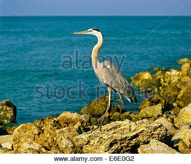 Great Blue Heron on Captiva Island near Fort Meyers in Florida USA - Stock Photo