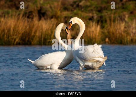 Mute swans (Cygnus olor), courtship, Rieselfelder Münster, North Rhine-Westphalia, Germany - Stock Photo