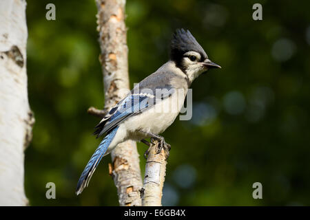 An eastern Blue Jay, Cyanocitta cristata, perched on a birch tree branch - Stock Photo