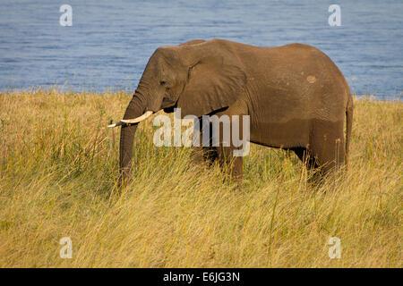 A lone elephant eating grass, Zambezi River - Stock Photo
