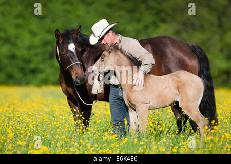 Cowboy with a bay and buckskin Quarter Horse, mare and foal, on a flower meadow, North Tyrol, Austria - Stock Photo