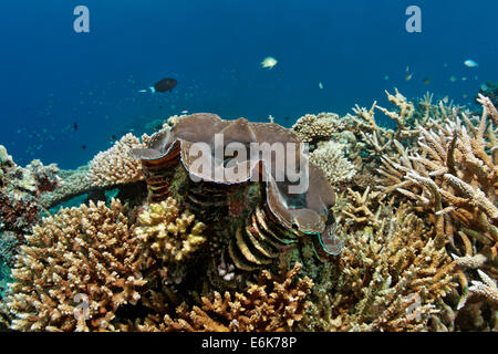 Giant Clam (Tridacna gigas), growning in coral reef with various Acropora Corals (Acropora sp.), Indian Ocean, Embudu - Stock Photo