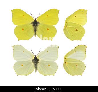 Brimstone - Gonepteryx rhamni. Male (top) - female (bottom). - Stock Photo