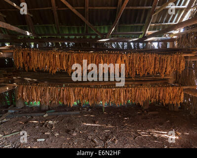 tobacco leaves drying in a barn, Vinales, Western Cuba - Stock Photo