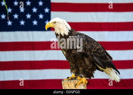 American Bald Eagle Haliaeetus leucocephalus American flag Hogle Zoo Utah USA - Stock Photo
