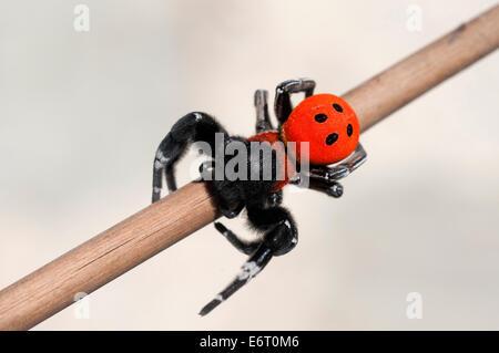Moravian velvet spider (Eresus moravicus) - Stock Photo