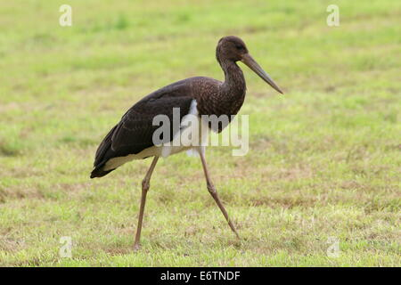 Close-up of a juvenile Black Stork (Ciconia nigra) foraging in a meadow - Stock Photo