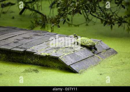 Florida Red Bellied Turtles Covered in Duck Weed - Stock Photo