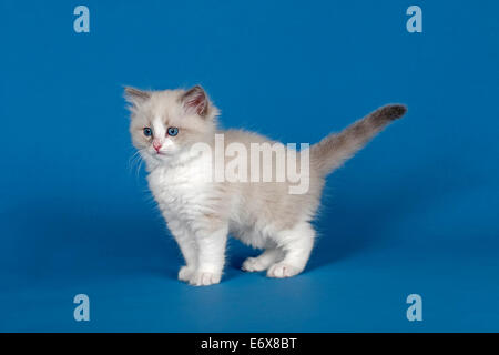 Ragdoll cat, kitten, 9 weeks, blue, bicolour - Stock Photo